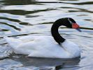 Black-Necked Swan (Slimbridge October 2011)